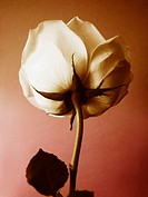 Back of white rose on rose and sepia background