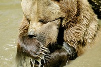 Brown Bear (Ursus arctos). Captive. Bayerischer Wald Nationalpark. Bavaria. Germany