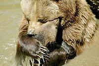 Brown Bear (Ursus arctos). Captive. Bayerischer Wald Nationalpark. Bavaria. Germany