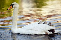Mute swan (Cygnus olor). Adult with ducklings. Germany