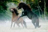 Icelandic horses, fighting in the fog. Germany