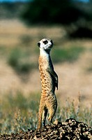 Suricate / meerkat, Kalahari Gemsbok National Park, Northern Cape, South Africa