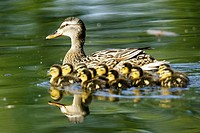 Mallards (Anas platyrhynchos) female with ducklings