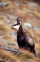 Chamois (Rupicapra rupicapra). Gran Paradiso National Park, Italy