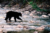 Black bear (Ursus americanus). Rocky Mountains. Canada