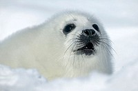 Harp Seal (Phoca groenlandica)