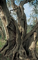 old olive tree, gargano, foggia