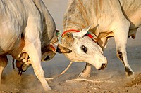 Traditional bullfighting in Fujeirah, United Arab Emirates