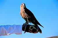 Falcon sitting on a gloved arm