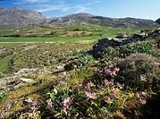Wild tulips (Tulipa saxatilis). Photographed on Gious Kambos Plateau, Crete.