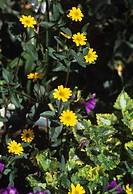 Creeping zinnia (Sanvitalia speciosa ´Aztec Gold´) in flower.