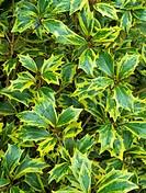 False holly (Osmanthus heterophyllus ´Aureomarginatus´) leaves.