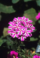 Verbena flowers (Verbena var. sunmaristau ´Violet Star´).