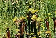 Common pitcher plants (Sarracenia purpurea). These vase-shaped carnivorous plants use scent, nectar and colour to attract insects. The interior of the...