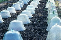 Frost protection. Young plants covered by low, transparent covers (cloches) to protect them from frost.