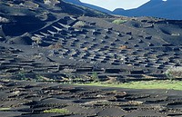 Volcanic vineyards. The black volcanic soil, found here on Lanzarote, one of the Canary Islands, is being used to grow grape vines. Semi-circular wall...
