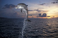 Bottle Nosed Dolphin , Tursiops truncatus , Roatan , Honduras , Carib , Adult jumping out of the water , Sundown