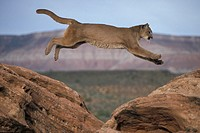 Mountain Lion , Felis concolor , Utah , USA , Adult on rock