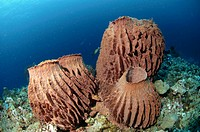 Large Testude barrel sponges. Xestospongia testudinaria. New Britian Island, Papua New Guinea.