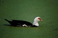 marsh, duck