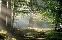 Forest path with sun beams. Schaalsee Biosphere Reserve, West Mecklenburg, Germany