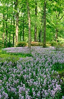 Lavender coloured wildflowers and woods. USA