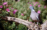 Woodpigeon (Columba palumbus) and Rock Rose (Cistus sp.)