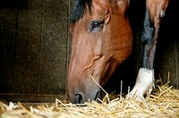 A bay horse eating hay