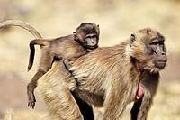 Gelada Baboon (Theropithecus gelada). Ethiopia