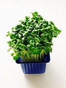 Garden Cress in Blue Container
