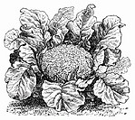 Cauliflower (illustration) (thumbnail)