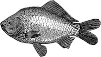 Crucian carp (illustration)