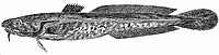 Burbot (illustration)
