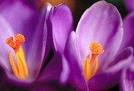 Crocus (Crocus sp.) in spring