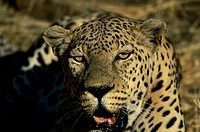 Close-up of an African Leopard (Panthera pardus)