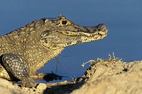 Side profile of a Black Caiman (Melanosuchus niger)