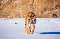 Siberian Tiger standing in the snow (Panthera tigris altaica)