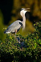 Great blue heron at nest (Ardea herodias). Florida. USA