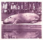 ´The Hippopotamus at the Zoological Gardens, Regents Park´, London, 1852.Salted paper print, wet collodion negative using double lens, instant exposur...