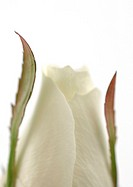 White rose, close-up
