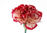 Variegated carnation, close-up