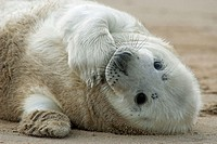 Grey Seal (Halichoerus grypus), pup rolling on sand. Donna Nook National Nature Reserve, England. UK