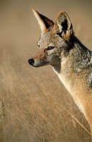 Black-backed Jackal (Canis mesomelas), Kgalagadi Transfrontier Park. South Africa