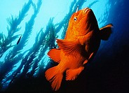 Garibaldi state fish of California. USA