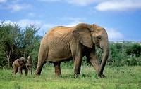 African Elephant. Loxodonta africana, Mother and baby, Addo National Park, South Africa