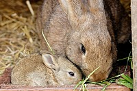 female rabbit with young in a stall,  Bavaria / Bayern, Germany