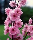 Branch of pink cherry blossom (close-up)