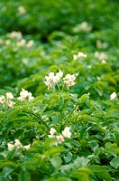 Flowering potato plants in the field