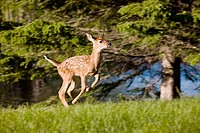 White tailed deer (Odocoileus virginianus)/fawn/running/captive