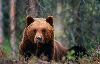European Brown Bear. (Ursus arctos). Finland.